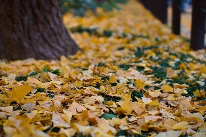 街中でも気軽に楽しめる「いちょう並木」。いつもの景色だからと通り過ぎずに、今年は立ち止まってしっかり満喫しませんか?