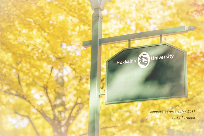 札幌市にある北海道大学の北13条通りにあるいちょう並木は、約380mに70本ものいちょうが並んでいます。