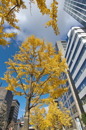 大阪のビジネスの中枢である御堂筋には、約4㎞以上にわたり900本以上のいちょうが植えられています。ビル街を彩るいちょう並木は、街の顔。仕事を頑張るビジネスマンの心を癒してくれます。