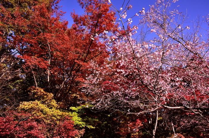桜と紅葉が一度に楽しめる穴場スポット!十月桜と呼ばれている冬桜の可愛らしい薄紅色と、赤や黄色に色づいた木々とのコラボレーションが素敵です。見頃も10月上旬から12月上旬までと長く紅葉が楽しめます。