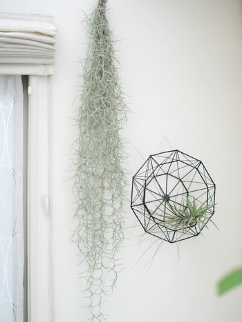 エアプランツらしく空中に飾るのも、目線の高さにグリーンがくるので、部屋全体がデコレーションされている雰囲気になります。そのまま吊るすのも良し、カゴやワイヤーオブジェと組み合わせて飾るも良しです。お部屋の雰囲気に合わせて、素材を選ぶといいですよ。