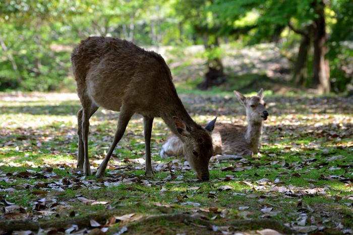 広大な境内にはかわいい鹿たちもたくさん!鹿せんべいをあげるときに、お辞儀をするということでも有名です。
