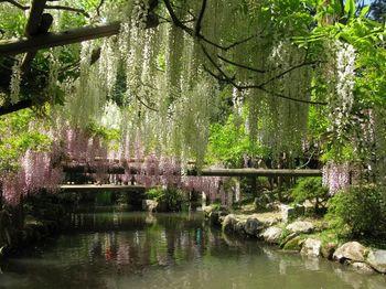 春日大社のお社の隣にあるのが萬葉植物園。万葉集の中で詠まれた植物が植えられています。 特に見事なのが藤で、見頃を迎える4月下旬~5月初旬には多くの人が訪れます。