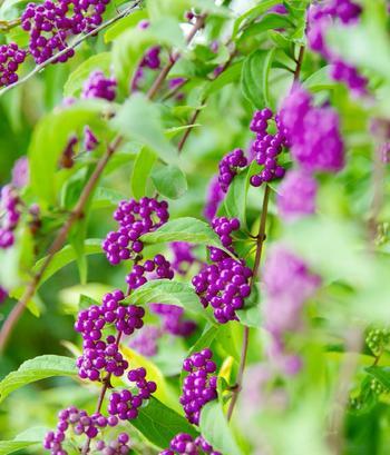 9~12月頃、明るい紫色の実が小さな房を作るムラサキシキブは、葉の緑の中でパッと目を惹く鮮烈なコントラストが印象的。葉が落ちた枝に実だけが残った姿も優美です。丈が低めのコムラサキや白い実がなるシロシキブなどの変種もあります。