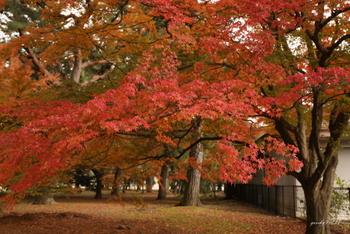 まるでレースのような紅葉の広がりに、つくづくと見とれてしまいそう。  御所内はあまり混み合わないので、ゆったりと紅葉を眺めたい方にとっては紅葉狩りの穴場と言えるかもしれません。