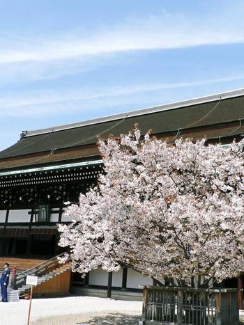 「紫宸殿」の右にある「左近の桜」も見どころの1つ。  平安時代には「梅」だったものが承和年間(834-848)に枯れ、仁明天皇が桜に改められたのだそう。幾度かの代替わりを経て、現在は葉と共に花が咲く山桜が綺麗です。