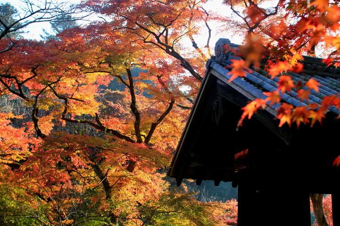 """福岡県朝倉市の観光名所「秋月城跡」は、福岡県指定有形文化財に指定された黒門周辺を20本のモミジが赤く美しく黒門を彩ります。やや規模は小さめですが、""""筑前の小京都""""と呼ばれるうっとりするほどの美しさです。"""