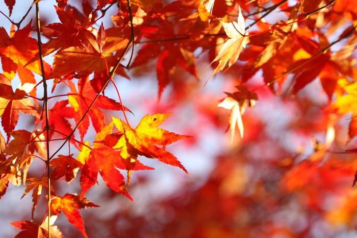 赤・橙・黄に色づく紅葉を見ると、秋の深まりを感じますね。紅葉はこの時期だけのお楽しみ。そんな秋ならではの美しい風景に出合いに行きませんか?
