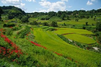 のどかな田園風景が広がる明日香村。その中でも特に美しいのが稲渕の棚田です。歴史的景観として国に重要文化的景観指定もされています。