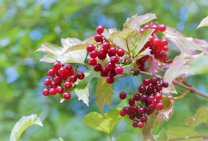 彩りが寂しくなり始める秋の山野で、ガラスビーズを思わせるきらきらした赤い実がひときわ目を惹くガマズミ。日本全土で見ることのできる落葉低木ですが、庭木として育てれば、花や紅葉、果実のそれぞれを四季を通じて楽しめます。また、実はポリフェノールを多く含み、果実酒にすると美味しいのだそう。漬物の着色料、衣料の染料としても利用されている、昔から人の暮らしに寄り添ってきた花木です。