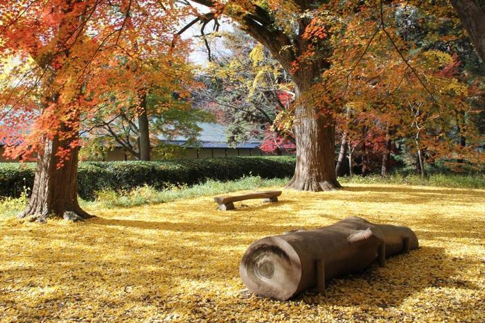 「母と子の森」では、時期によってこのような銀杏の紅葉が見られることも。  広大な芝生の上へ、絨毯のように散り敷く紅葉が見事です。  散策しながら、随所にあるベンチで梢を見上げながら、紅葉散り敷く芝生の上でランチしながらと、思い思いに楽しんで。
