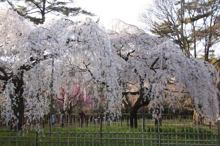 「今出川御門」のほど近く、近衛邸跡地に咲くこちらの「近衛のしだれ桜」も、お花見に行くなら一度は訪れたいスポット。  流れる糸のような枝ぶりも美しく、春には多くの人が集います。