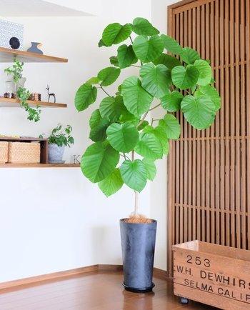 空間にあわせて大小のメリハリを楽しめるのが観葉植物の魅力。大きく葉を茂らせるウンベラータをメインに、飾り棚にもアイビーなどのプチグリーンをあしらって。