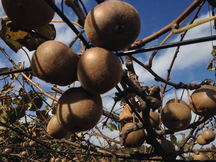 藤棚のように栽培されているキウイ。マザー牧場では、2,700平方メートルの広大な敷地に、「ヘイワード」「ブルーノ」「アボット」「センセーションアップル」の4品種のキウイが栽培されています。もぎ取る時はハサミを使わず、手で簡単にできるのでお子さん連れにもおすすめです。普段スーパーで見かけることの多い品種は「ヘイワード」。その他3品種はあまり食べる機会がないので、それぞれの味の違いを楽しんでみましょう。
