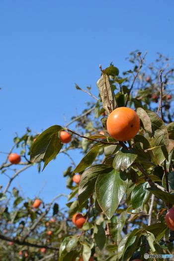 オレンジ色が美しい柿は、秋冬を代表するフルーツのひとつ。「柿が赤くなれば医者が青くなる」といわれるほど、風邪予防など昔から栄養たっぷりのフルーツとして知られています。茅ヶ崎市や横浜市など、気軽に足を運べる農園で柿狩りを体験できるんですよ。