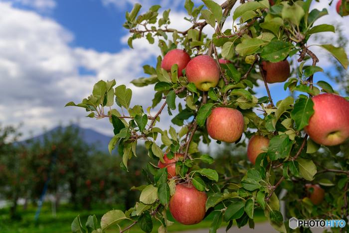 たわわに実るりんご。日本では明治時代頃から栽培されているという歴史のある果物なんです。食物繊維やビタミンが豊富で、ヨーロッパでは昔から「1日1個のりんごは医者を遠ざける」と言い伝えられてきたそうです。関東エリアでは北関東で多く栽培されているので、日帰りドライブしながらりんご狩り体験をしてみませんか?