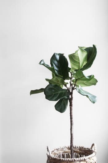 植物は、葉がしんなりと丸まっていたり、くったりしてくるほどに水が足りなくても、そこから動けずにじっと耐え忍ぶしかありません。   葉が透けて薄くなったり、色が良くない時もじっと耐え忍んでいます。