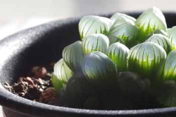 ハオルチア属の中でも人気の高いハオルチアオブツーサ(雫石)。育てやすい上に耐寒性があります。0度を下回るようであれば室内に入れましょう。
