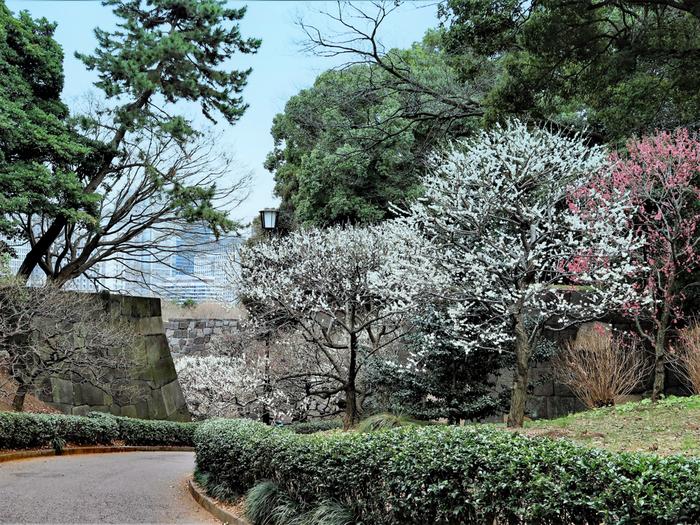 皇居東御苑には数品種の梅が植えられています。こちらは「白加賀」という品種で、紅白の花びらがとてもキレイ。梅林坂で1番多く植えられていて、2月から3月上旬は坂全体が紅白に包まれます。皇居東御苑はゆっくり1周しても1時間程度なので、気軽に散策してみませんか?