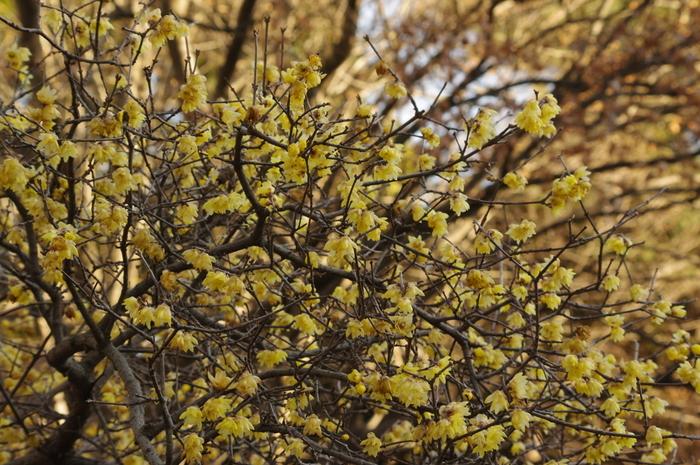 こちらは「蝋梅(ろうばい)」です。中国原産の梅で、黄色い花と甘い香りが特徴です。遠くからでも良い香りを感じられるのは気持ちが良いですよね。1月~2月上旬に見頃を迎え、二の丸休憩所西側や大手休憩所南側などで見ることができますよ。