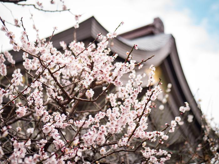湯島天神の梅は、2月中旬から3月上旬に見頃を迎えます。樹齢約70年~80年の木がいっせいに咲きほこる様子は、寒い冬をほっと暖めてくれるかのよう。境内には約300本の梅が植えられているんですよ。
