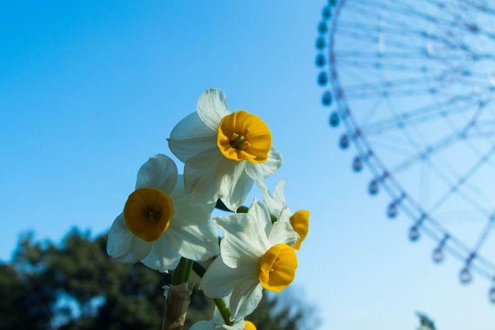 葛西臨海公園で冬に咲いているのは水仙。公園のシンボルで、日本最大級を誇る「ダイヤと花の大観覧車」の足元が水仙畑になっているんですよ。芝生広場と合わせると全部で20万本(5万球)も植えられていて、可憐な姿を見せてくれます。