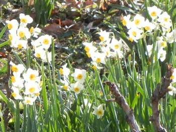 1月に入ると園内の各所で見られる水仙。最近は八重咲やピンクの品種もありますが、日本庭園に似合うのは、凛とした日本水仙。