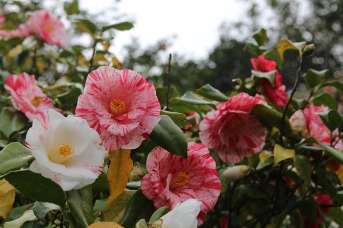 国内最大規模の椿の植物園である「都立大島公園」。園内は、赤・白・黄・桃色など椿を花色別に分類展示した「花色別展示ゾーン」や「産地別展示ゾーン」などテーマごとに9つのゾーンに分かれています。すべて合わせると約1,000品種、3,200本の園芸種とヤブツバキ約5,000本の椿を楽しむことができます。