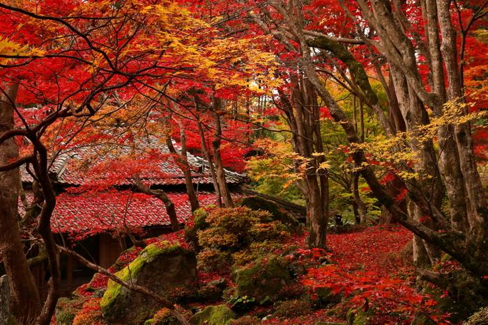 秋には境内がもみじで赤く染められる教林坊。岩にむした苔とのコントラストも見事です。これほどまでの紅葉の名所でありなが、かくれ里的な知る人ぞ知る紅葉の穴場的スポットとなっています。