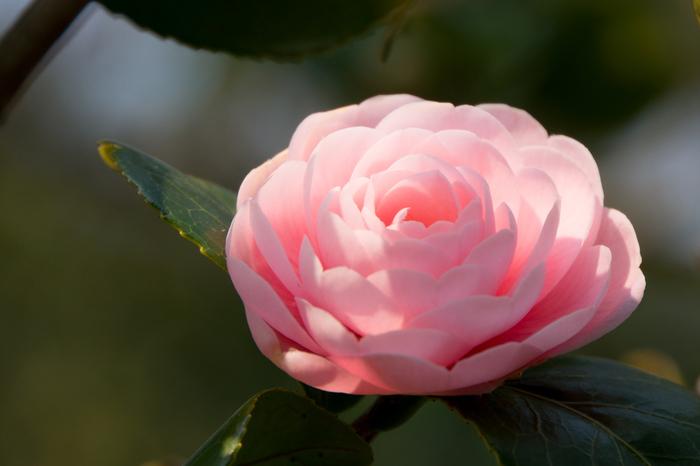椿は日本を代表する花木。こちらは江戸時代から栽培されている品種のひとつ「乙女椿」で、ピンク色の花びらを重ねた八重咲きが美しいですね。