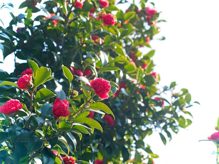 濃い緑色の葉っぱに映える深紅の椿。その凛とした姿は冬に似合います。園内では、椿の鉢花や切花を展示したり、講師の先生がつばき・さざんか園を案内してくれるイベントなどが開催されることもあります。時期になったら、公園のHPなどをチェックしてみてくださいね。