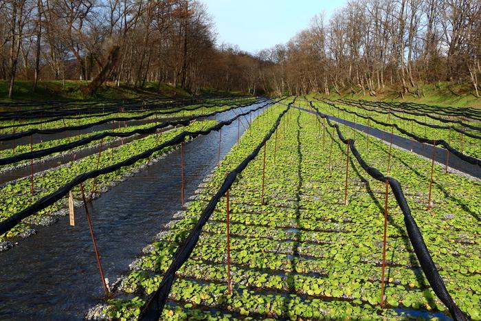 名水で有名な長野県安曇野市にある「大王わさび農場」は、JR大糸線の穂高駅から車で約10分ほどのところにあります。大正4年から現在にいたるまでわさび栽培を行っていて、川の向こうまで広がるわさび田は日本一の面積を誇るそうです。