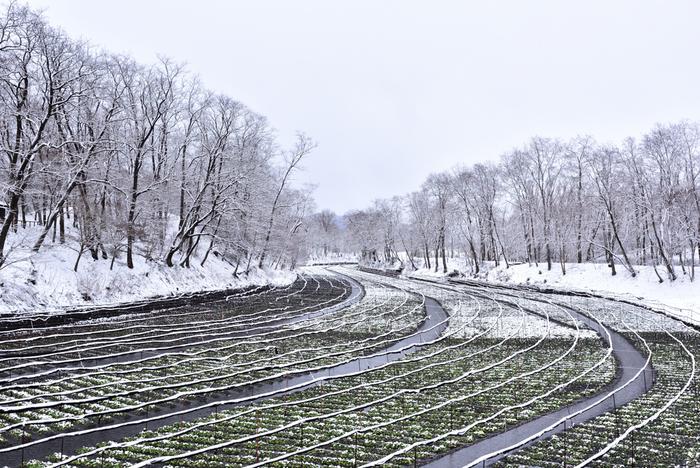 雪が降ったわさび田の美しさも一見の価値があります。降り積もる真っ白な雪と緑色のわさびの葉。夏は観光客でにぎわう場所も、冬はとても静か。わさび田を包む静寂にひたってみては?