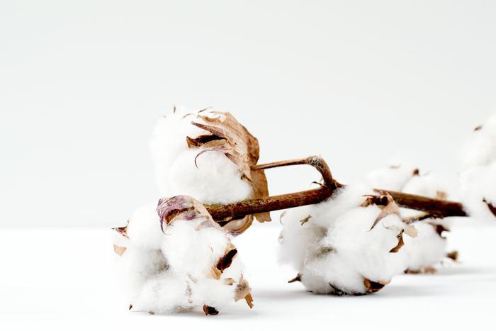科・属:アオイ科・ワタ属 和名:綿花 原産地:アジア・中南米の熱帯地方