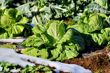 白菜はこの時期代表する野菜の一つで、スーパーや八百屋さんでも丸ごと一個が安価で入手できる絶好のチャンス!白菜は風邪の予防に効果が期待できるビタミンCや利尿作用を促すカリウム、そして食物繊維も豊富なまさに旬だからこそ食べておきたい栄養素をふんだんに兼ね備えています。