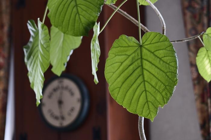 フィカス・ウンベラータは、熱帯アフリカの低地が原産の常緑樹。広く大きな葉がハート型で、人気の高い観葉植物です。 ウンベラータは強健で、日本の気候にも馴染みやすいので、育てやすい観葉植物と言われています。成長もそれほど遅くはないので、しっかり育てると、とても美しい草姿になります。 リビングなどのシンボルツリーとして、いかがでしょうか!  【育て方のポイント】 明るい窓辺で、風通しを良くして管理しましょう。大きい葉の上には埃がたまりやすいので、葉水をこまめにし、冬の寒さには比較的弱いので、日の当たる暖かいところ育てるのがおすすめです。