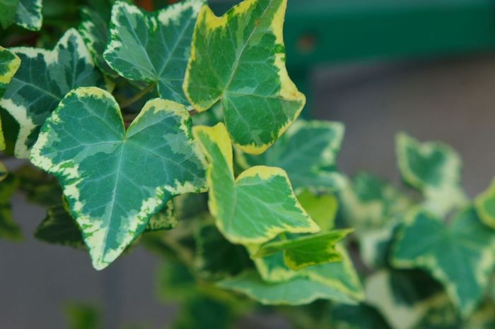 寄せ植えのアレンジとして使われたり、お洒落な雰囲気がインテリアにもマッチするアイビー(ヘデラ)は、ウコギ科キヅタ属に分類されるツル性植物です。 葉の模様は様々で、白い斑が入っているものや、グレーやライトグリーンなどのマーブル模様の葉などがあります。 アイビー(ヘデラ)の性質は、非常に強健で、屋外で難なく越冬することが出来ることから、グランドカバープランツとして使用されることもあります。  【育て方のポイント】 比較的どんな環境でも適応してくれるので、明るい場所で風通しを良くして管理しましょう。