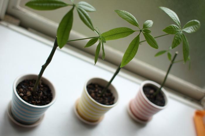 パキラは、熱帯の日当たりが良い場所に生育する常緑高木です。原産地では、高さ20mにも成長し、大きく育った樹木には果実が実り、その種子は焼いて食用として親しまれているんだとか…。 観葉植物としてもとても育てやすく、インテリアとの相性も抜群!樹形の大きさをコントロールしやすく、根もあまり張らないので、大きくさせずに、長期にわたり育てていくことができます。  【育て方のポイント】 室内では、日光が当たる明るい場所で管理しましょう。薄日程度でも育てることが出来ますが、陽があたらない場合は徒長(間伸びして枝が細く長く伸びる)して下の方の葉が落ちてしまいますが、徒長した枝は水耕栽培や挿し木で増やす事が出来る丈夫な植物です。 比較的湿度を好む植物ですが、水やりは表土が乾いたらたっぷりと与えます。冬場は水やりを控えめにし、時々霧吹きなどで水をあたえ、葉や樹木の乾燥を防ぎましょう。
