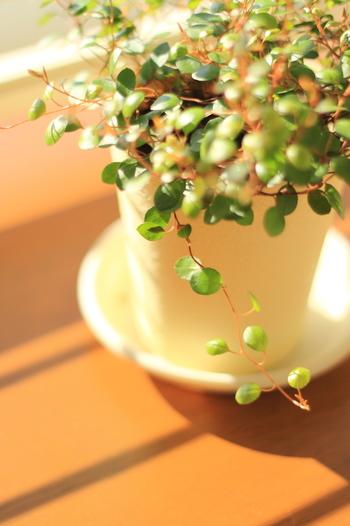 小さなグリーンの葉が可愛らしいワイヤープランツは、ほふく性常緑小低木です。ワイヤープランツという名前の通り、細いワイヤー(針金)の様な茎が特徴的で、耐寒性に優れ、地域によって多少の差はありますが、冬でもグリーンの葉を絶やしません。 生育旺盛なので、露地植えにするとフェンスやトレリス、他の樹木などに絡まりながらどんどんと広がっていく特徴があります。剪定時に、切った枝を水に挿しておくと発根するので、水耕栽培で楽しむことも出来ます 育つ環境にもよりますが、春から夏にかけて小さな花と、その後に種子ができます。とても小さく見つけにくい花と実ですが、明るい黄緑色の花が咲くので、注意深く観察してみましょう!  【育て方のポイント】 半日陰を好むので、風通しの良い場所で管理しましょう。土の乾燥には気をつけ、乾いたらたっぷりとお水をあげましょう。