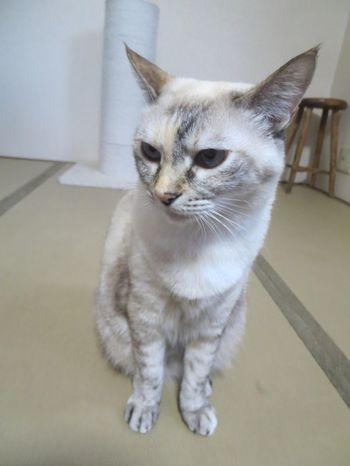 40匹近くも猫がいる新玉旅館ですが、一番人気は看板猫ランキング1位に輝いたこともあるミルクちゃん。特技はふみふみマッサージ。機嫌がいいときには癒しのマッサージをしてくれるんです!但し、触られるのは嫌いなツンデレちゃん。追いかけ回されると逃げます。ミルクちゃんの方から来てくれるのを大人しく待ちましょう。