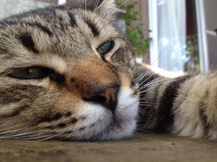 オーベルゼ レ・ボーの猫の中で1番BIGで、食べることと寝ることが大好きなヨリ男くん。道でゴロゴロしていることが多い甘えん坊な男のコですが、看板猫の仲間を守るときは男らしい一面も。
