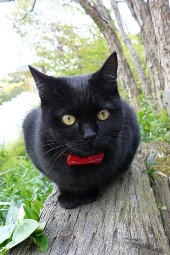 真っ赤なリボンがトレードマークのジジちゃん。優しい性格でお客さんのお出迎え・お見送りはもちろん、添い寝までしてくれます。
