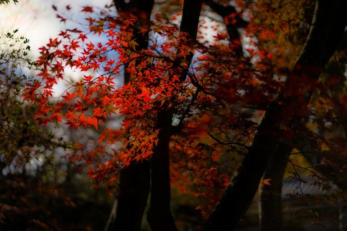 """ここ「箱根」は、全国でも有数の""""紅葉スポット""""です。  記述してきた通り、箱根の各エリアには、それぞれに固有の景観が広がっています。箱根の紅葉は、その美しさも然ることながら、雰囲気や風情が異なる、多様な紅葉の景色が眺められることが大きな魅力です。  そして、比較的長い間(例年10月下旬~11月下旬頃)紅葉を楽しめることも、箱根の紅葉の特徴となっています。それは、起伏に富み、標高が様々な「箱根」ならではの恩恵に他なりません。【11月下旬の「箱根美術館」】"""