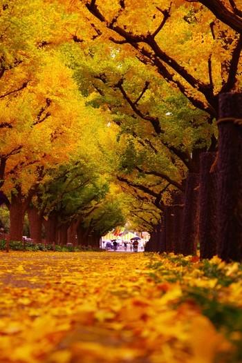 まるで映画のワンシーンのような、ドラマチックなイチョウ並木が楽しめます。青山通りから明治神宮外苑までの都会的な風景と、黄金色のイチョウをながめながら歩けば、映画の主人公気分にひたれます。