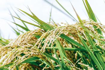 お米も人気の返礼品です。お米を送ってもらえる月を選べるものや、毎月、すこしずつ送ってもらうもの、玄米のまま送ってもらうものなど、いろいろなタイプがあります。「特A評価」のお米などは特に人気があります。