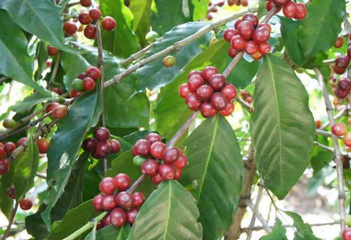 日本へ入ってくるコーヒー豆の品種は2種類。アラビカ種とロブスタ種に分けられます。コーヒーをセレクトする際に豆の品種を気にする機会は少ないかもしれませんね。でも豆知識として覚えておきましょう。