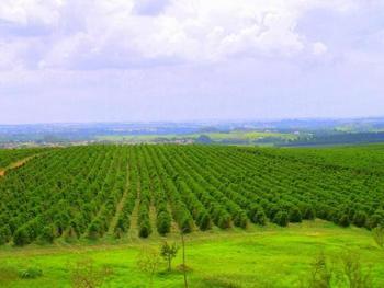 ブラジルでは平坦な敷地に広大なコーヒー農園が広がっています。機械で収穫ができるため、生産量も世界1位。