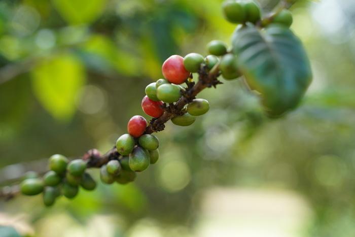 コロンビアのコーヒーの中でもエメラルドマウンテンは最上級のコーヒー豆として日本でも人気。まろやかなコクとフルーティーで豊かな香り、クセがない味わいを楽しめるコロンビアのコーヒーは、ブレンドコーヒーに使われることも多いですが、ストレートで飲んでも◎