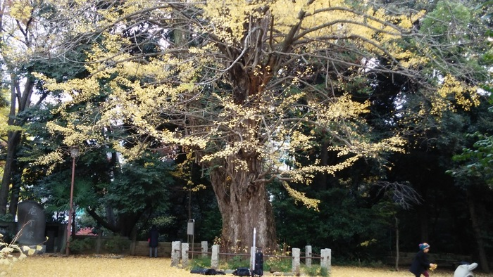 境内にそびえたつ銀杏の木は推定樹齢400年で、人の目の高さに当たる幹の太さは約2.4mもある大木。そばに立つと力強いパワーを感じられそうです。