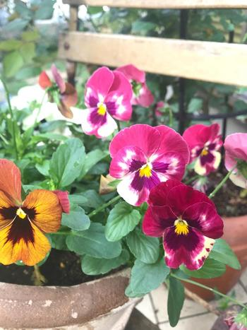 冬のお花と言えばパンジーと思いつく人も多いかもしれません。パンジーは、秋から初夏まで長く栽培できるお花。手入れも簡単なので初心者さんにもおすすめですよ♪